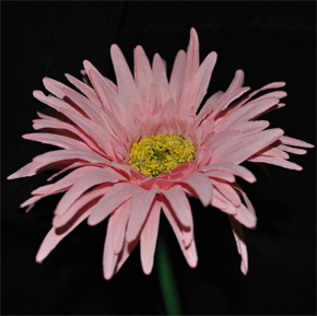 Light Pink Gerbera Daisy Pen