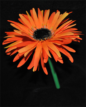Orange Gerbera Flowers Blue Background Hd Desktop Wallpaper Picture